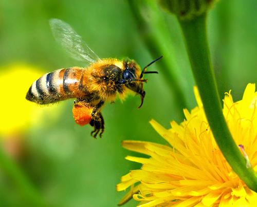 پارازیت ماهواره و مرگ زنبور عسل
